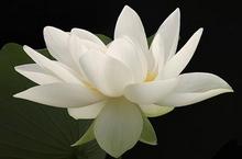 Witte lotusolie