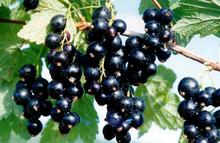 Extract van zwarte bessen