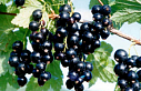 Blackcurrant Extract