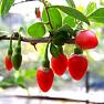 Экстракт ягоды годжи