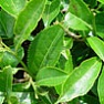 Органический экстракт зеленого чая